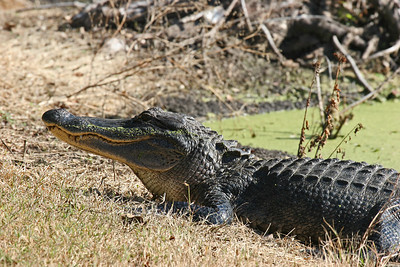 American Alligator - Brazos Bend SP