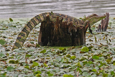 American Alligator - Brazos Bend SP, TX