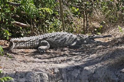 American Crocodile - Everglades National Park - FL