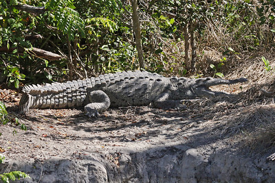 American Crocodile - Everglades National Park - FL