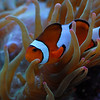 Pomacentridae  (Clownfish, Anemonefish, Damselfish) :