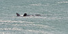 This Southern Right Whale looked like it was having fun..<br /> Logan's Beach, Warrnambool, Victoria