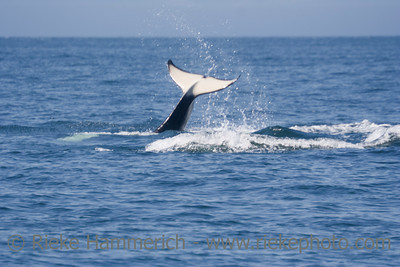 Orca Fluke above Pacific Ocean - Orcinus orca near San Juan Islands, USA