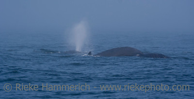 Humpback Whale Mother and Calf - Megaptera novaeangliae in front of Vancouver Island, British Columbia, Canada