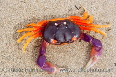 Tropical Land Crab in Costa Rica - Gecarcinus lateralis in Tamarindo, Guanacaste Province, Costa Rica