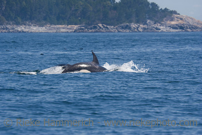 Killer Whales - Orcinus orca in front of San Juan Islands, USA