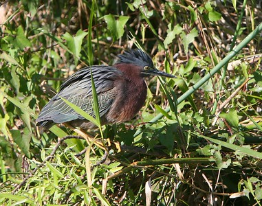 Green heron Butorides virescens   --------------------------------------------------------------------------------  Identification Tips: Length: 14 inches Wingspan: 25 inches  Sexes similar  Small, short-legged and short-necked heron  Yellow legs  Tucks neck in close to body in flight and often at rest, rarely extending it  Black cap  Blue-gray back and wings  Adult:   Chestnut neck  White chin  White stripe down center of neck  Immature:   Reddish-brown and white streaks on head and neck  Extensive white spots on wing coverts  Similar species:  No similar species. Least Bittern is much smaller with buff head and neck and buff patches on wing coverts.