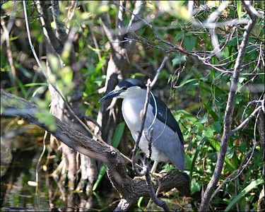 Black-crowned night-heron Nycticorax nycticorax   --------------------------------------------------------------------------------  Identification Tips: Length: 20 inches Wingspan: 44 inches  Sexes similar  Fairly small, stocky, short-legged and short-necked heron  Bill medium-sized and pointed  Tucks neck in close to body in flight and at rest, rarely extending it  Adult:   Red eyes, legs yellow  Black bill  Black crown and back  White face, throat, foreneck, chest and belly  Blue-gray wings  Two long, white, filamentous plumes extending from back of head in alternate plumage  Juvenile:   Eyes yellowish to amber, legs dull greyish  Yellow base to bill  Brown head, neck, chest and belly streaked with buff and white  Wings and back darker brown with large white spots at the tips of the feathers; spots especially large on the greater secondary coverts  Immature:   Acquires full adult plumage in its third year  First year birds are similar to juvenile, but have less extensive spotting on upperwings and a dark cap  Second year birds resemble the adult, but have a brown neck and wings contrasting with darker brown cap and back  Similar species:  Adults are unmistakable. Immatures can be separated from American Bittern by pale spotting on the upperwing, lack of black neck spot, different shape, stouter bills and more even upperwing coloration in flight. Juvenile Yellow-crowned Night-Heron has smaller spots on greater secondary coverts, smaller spots on head and neck, thicker bill, and longer legs. Immature Black Crowns can show a variety of plumage characters so are best separated from immature Yellow-crowns by their smaller, thinner bill and shorter legs.