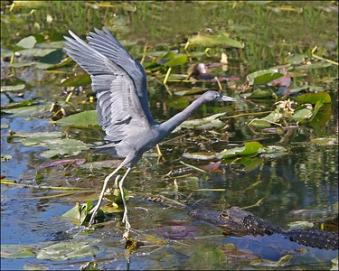 Blue Heron in Flight.  (don't miss gator in corner) All images in this Gallery taken with Canon 20D and Canon 70 - 200 IS USM zoom, handheld with Image Stablization turned on.  Shutter Priority at 1/1000 sec.  All images taken at Shark Valley in February of 2005 between 8:30 and 11:00 a.m.