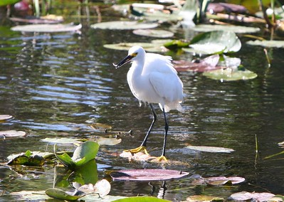White Egret Eating Small Fish