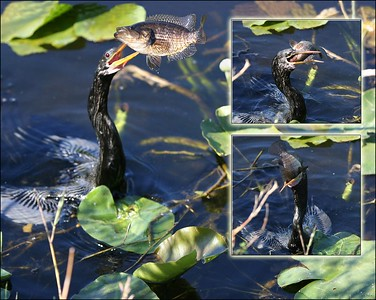 Anhinga capturing and eating a fish.  Sequence shot with base image of Anhinga tossing fish in the air, second shot (inset) catches fish head first, third shot Anhinga opens gullet and swallows fish whole, head first.