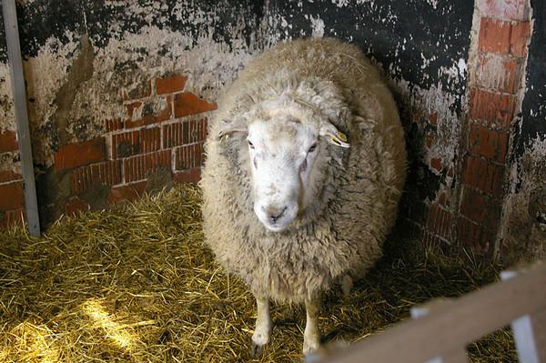 Shearing a ram