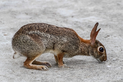 Eastern Cottontail - Anahuac NWR, TX