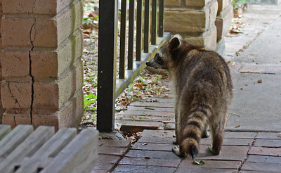 Raccoon - Aransas NWR, TX