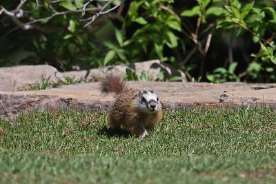 Yellow-bellied Marmot - Utah