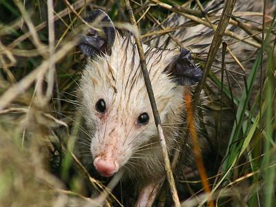 Opossum - Anahuac NWR, TX