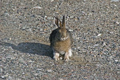 Snowshoe Rabbit - Denali Highway, Alaska