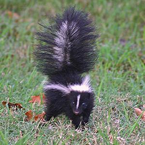 Striped Skunk, Texas