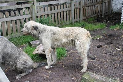 Sheep Dog - Ireland