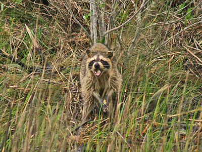 Raccoon - Aransas NWR, TX
