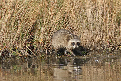 Raccoon - Baytown, TX