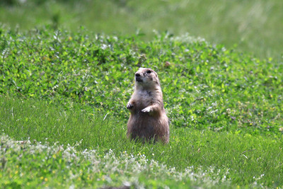 Black-tailed Prairie Dog -  North Dakota