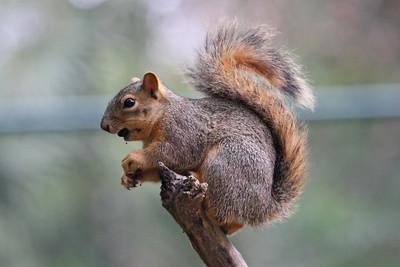 Eastern Fox Squirrel - Rio Grande Valley, Texas