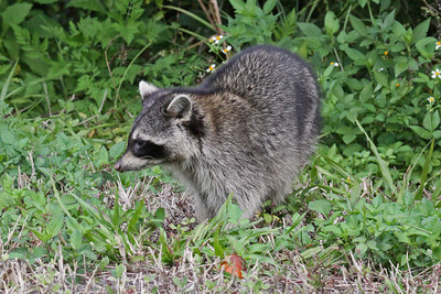 Raccoon - Florida