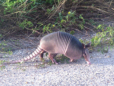 Nine-banded Armadillo. Texas