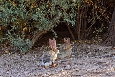 Desert Cottontail - Tuscon, Arizona