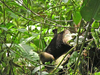 Thre-toed Sloth - Le Selva Reserve, Costa Rica