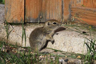Richardson's Ground Squirrel -  North Dakota