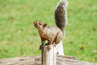 Eastern Fox Squirrel - Virginia