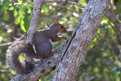 Eastern Gray Squirrel - Brazos Bend SP - TX