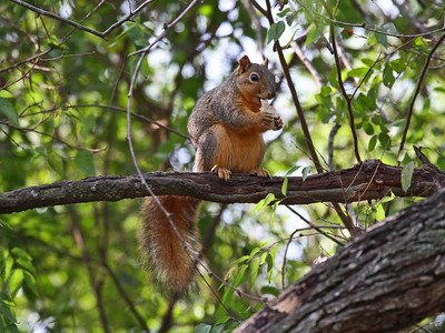 Eastern Fox Squirrel - Rio Grande Valley, Texas