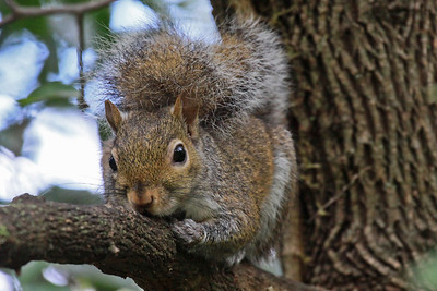 Eastern Gray Squirrel - Houston, TX
