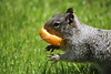 RockSquirrel_F_pebbles_IMG_0237_03312015