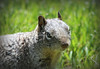 RockSquirrel_F_pebbles_IMG_0163_03312015