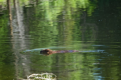 I wasn't happy with the shot I got of this beaver the other night. In an attempt to do better I set up about 20 yds from his lodge and waited for his return. He returned. Silver Lake, Brighton, UT 23Jul10