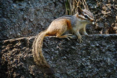 A frenetic chipmunk darting around the yard today.