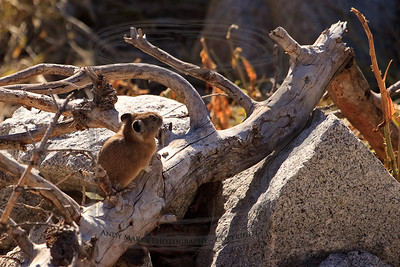 American Pika (our smallest rabbit), still out in late October. (This is handheld and I was working hard to just breath on the way up the mountain..)