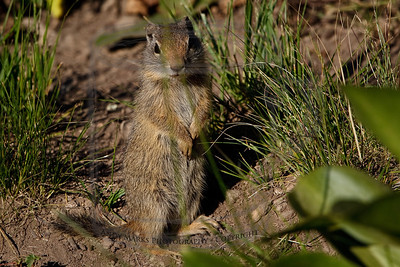 A year without a Utah Ground Squirrel (aka pot-gut) is incomplete. Wish I had noticed the two blades of grass crossing just above his head.
