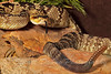 Crotalus Horridus ~ Eastern Timber Rattlesnake