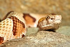Agkistrodon contortrix ~ The Copperhead
