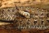 Crotalus aquilus - Querétaro dusky rattlesnake
