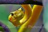 The Eyelash Viper ~ Bothriechis schlegelii