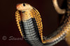 Naja Samarensis ~ The Samar Cobra It is found near water. It preys mostly on small mammals, frogs and other snakes. Like other cobra species, it will seek to escape when disturbed, but if cornered, it will rear up and spread its hood and strike. It rarely spits venom.