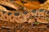 Mojave Rattlesnake ~ Crotalus scutulatus