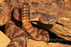 Crotalus tigris ~ The Tiger Rattler