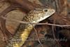 King Cobra ~ Ophiophagus hannah